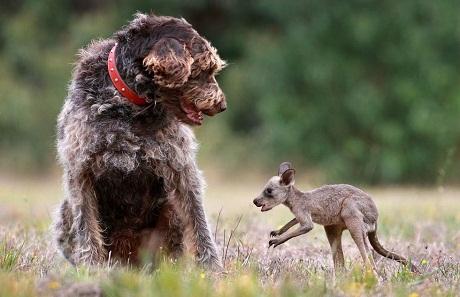 dog and kangaroo
