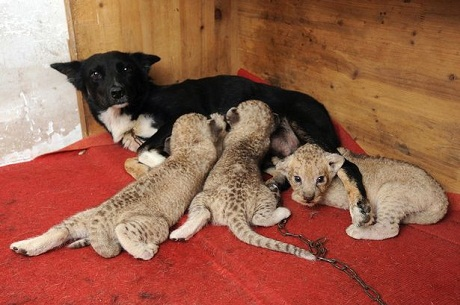 dog and lion cubs