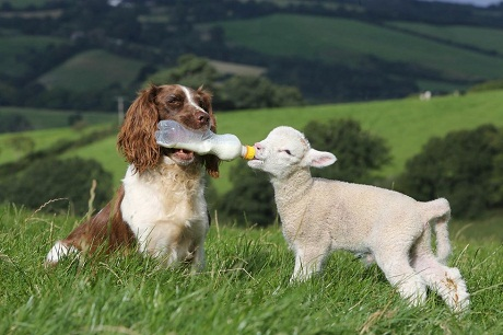 spaniel and sheep