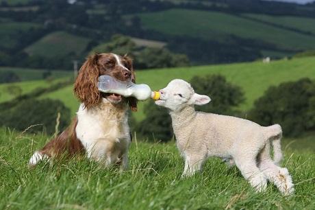 spaniel and sheep