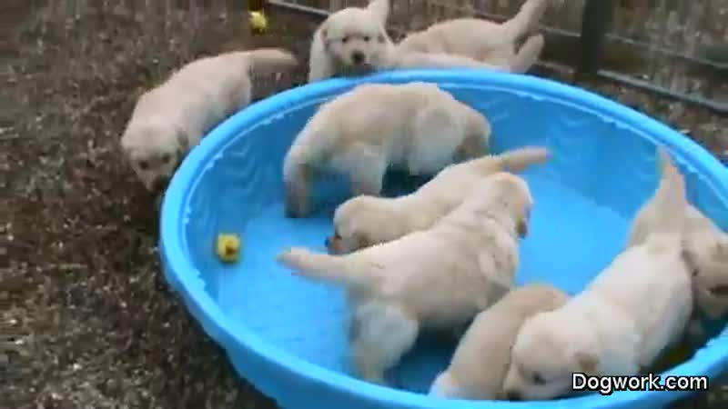how-to-make-5-week-old-golden-retriever-puppies-really-mad-large