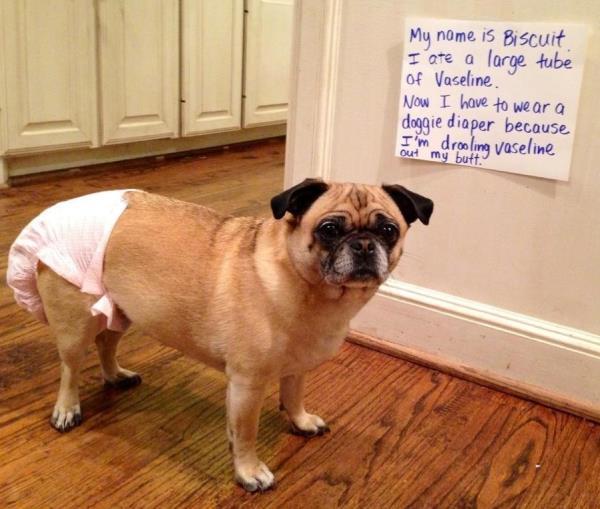 dog-shaming-doggie-diaper