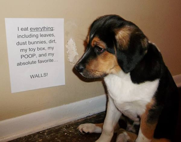 dog-shaming-eat-the-walls