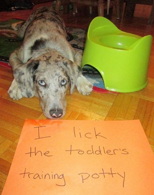 dog-shaming-licking-toilets