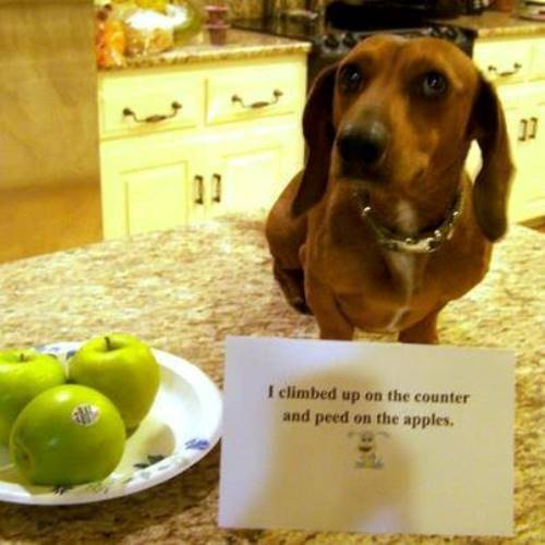 dog-shaming-peed-on-apples