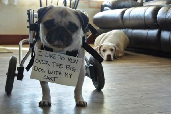 dog-shaming-run-over-big-dog