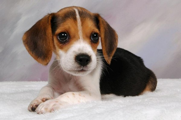 185062-849x565-beagle-puppy-portrait