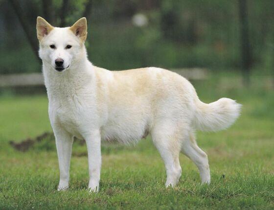Canaan-Dog