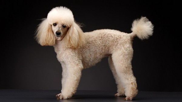 Miniature-French-Poodle