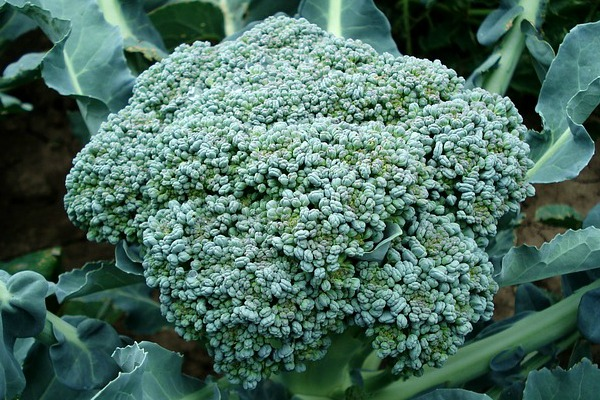 d2-broccoli-494754_640