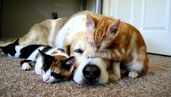 golden-retriever-dog-cats-photo-friends
