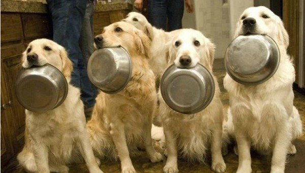 golden-retrievers-dogs-plates-begging