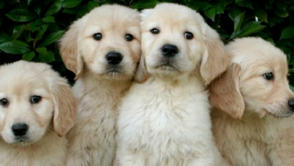 puppies-dogs-golden-retrievers-pics