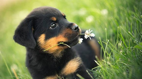 rottweiler-puppies-for-sale