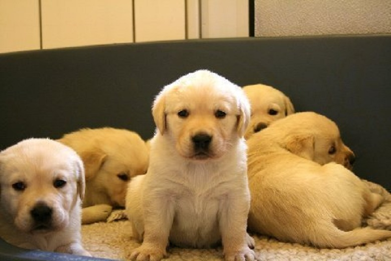 banana-labrador-retriever-pups[1]