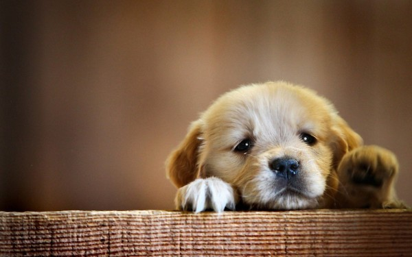 cute-puppy-wide-wallpaper-578005