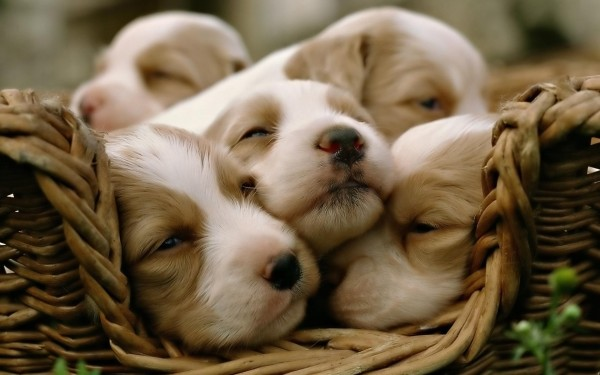 desktop-puppy-dog-pics-cute-dowload