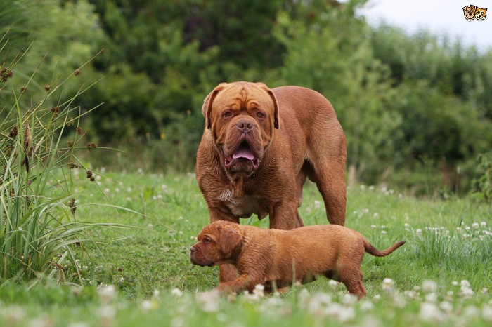 is-a-dogue-de-bordeaux-the-right-dog-for-you-54bbc6626f34d