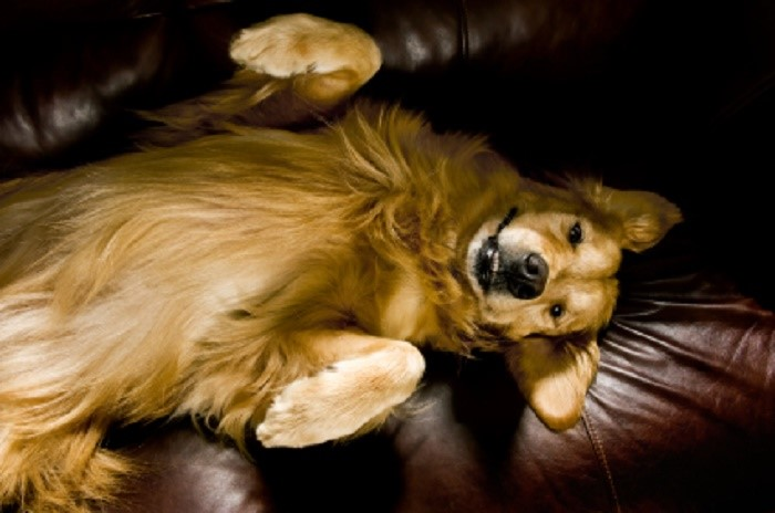 Golden Retriever on sofa