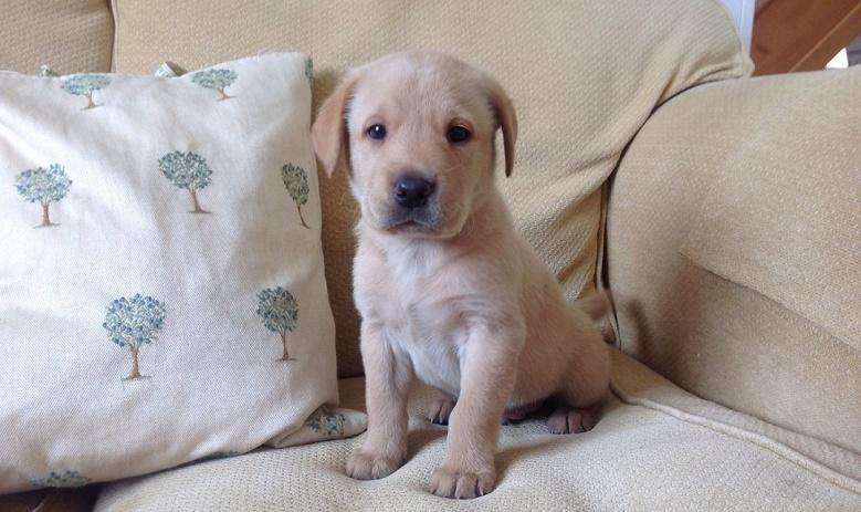reg-labrador-puppies-home-bred-53f1037a4548a