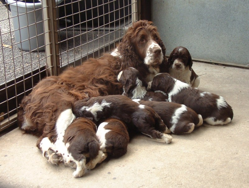 whelping-kennel-just-like-that-and-5-week-old-puppies-july-2006