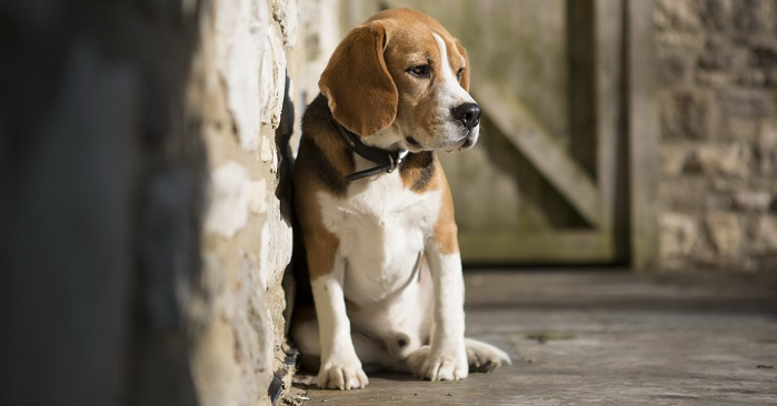 Animals___Dogs_Sad_beagle_dog_sitting_on_the_cold_floor_049966_