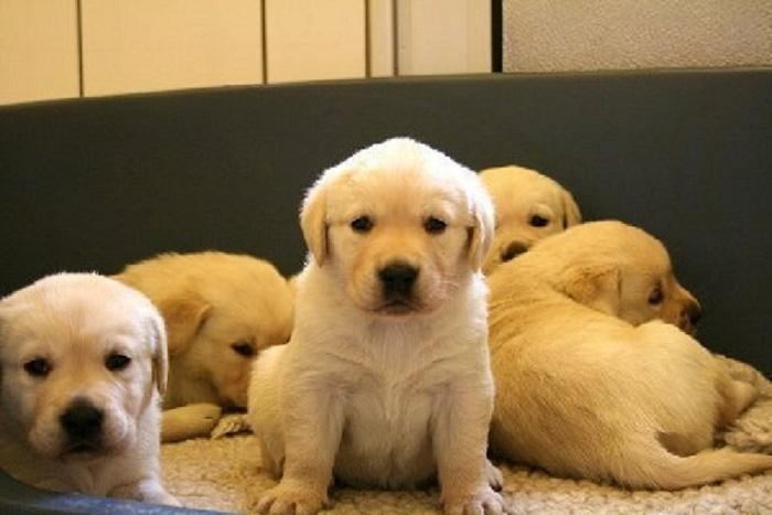 banana-labrador-retriever-pups[1]