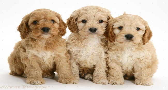 American Cockapoo puppies