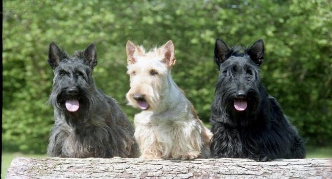 3scottish_terriers