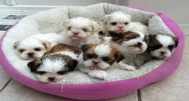 7-stunning-little-baby-shih-tzu-for-sale-5576aa18ae9fb
