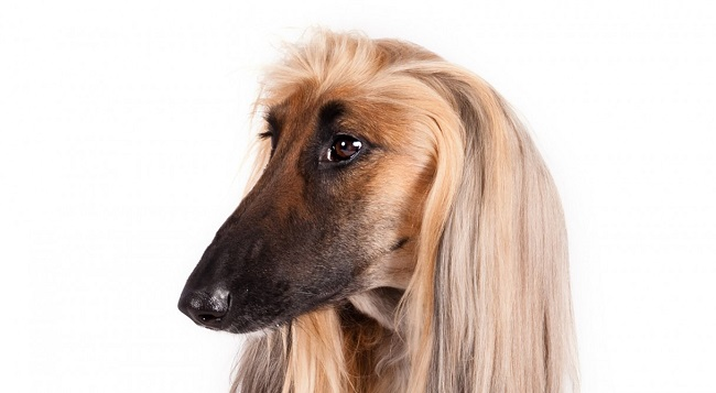 AfghanHound_hero