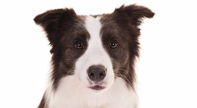 Border_Collie_Kinnie_head