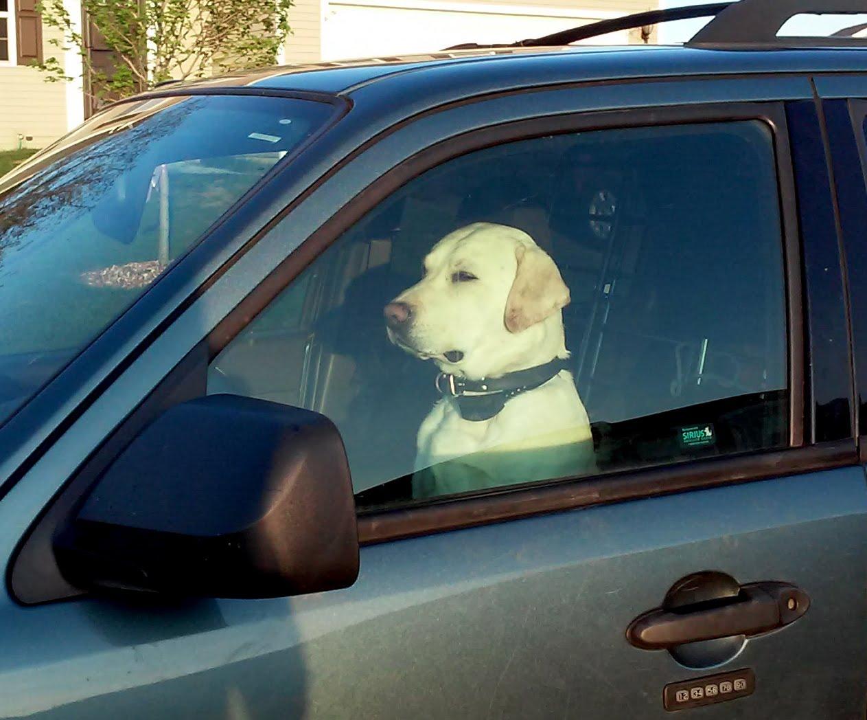 Dog sitting in the car