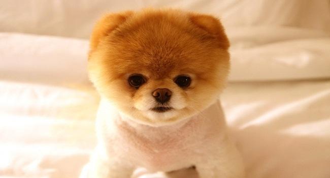 Pomeranian-11