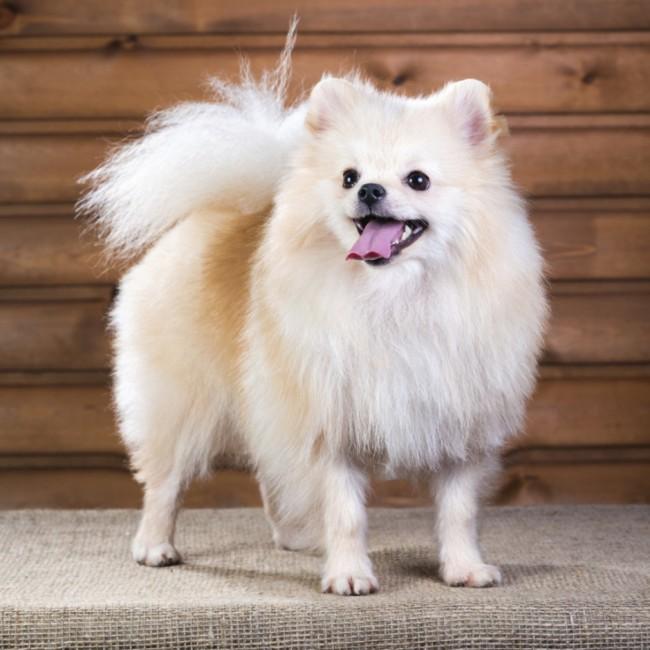 Pomeranian_njccao