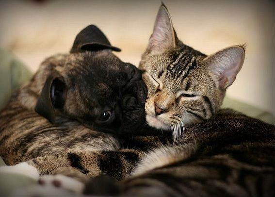 Pug-and-cat-friendship