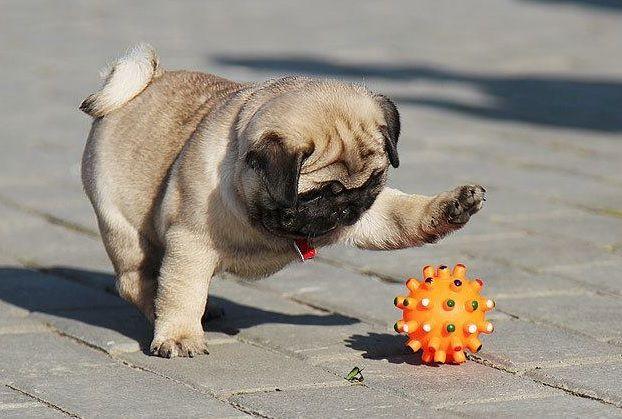 Pug-playing-with-ball
