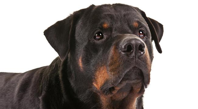Rottweiler_hero