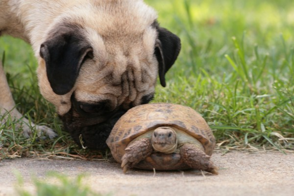 cute-pugs-and-turtle-2