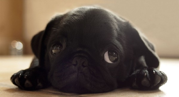 cute-puppy-black-pug