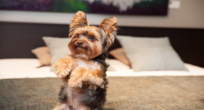 cute-yorkshire-terrier-max