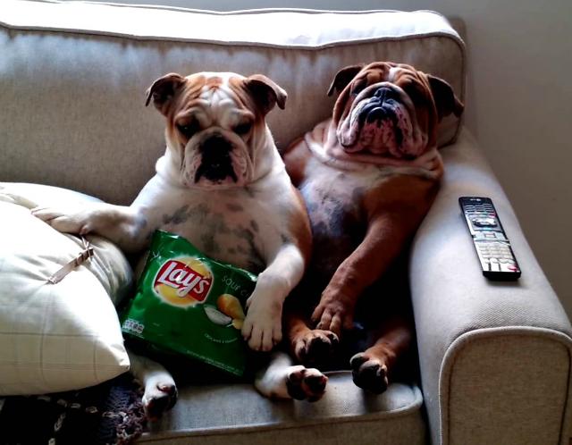 english-bulldogs-watch-a-scary-m