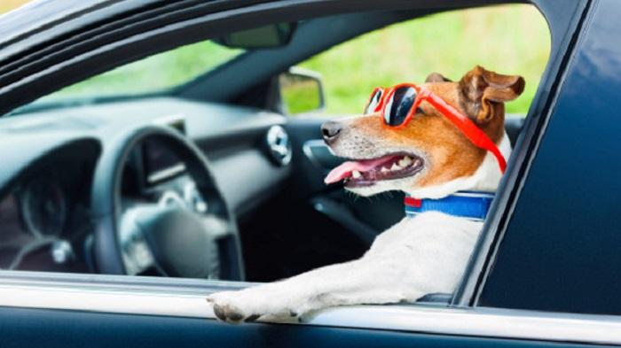 Dog car drives