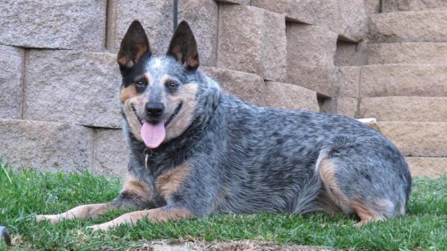 meet-the-breed-australian-cattle-dog