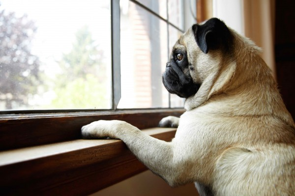 pug-waiting-for-owner-at-window