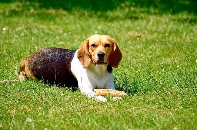 real beagle