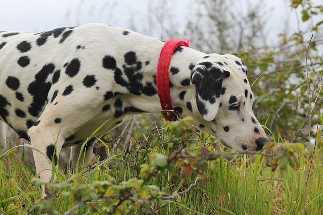 real dalmatian