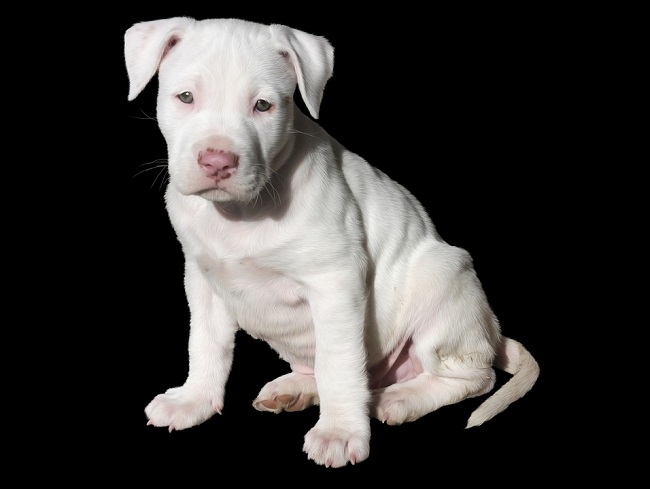 real pitbull