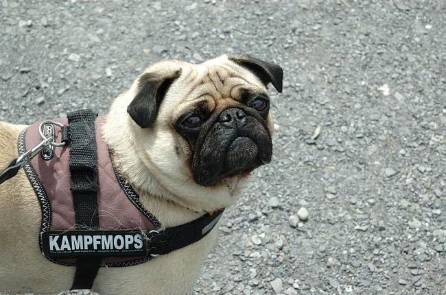 real pug