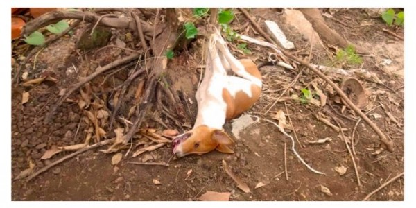 stray-dogs-allegedly-culled-main-660x330